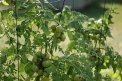 Cherry tomato plants bought at Fun Fair