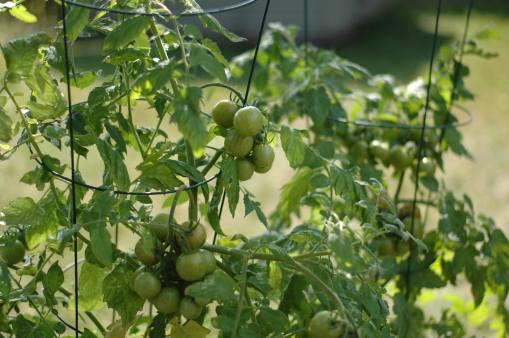 Cherry tomato plants bought at Fun Fair
